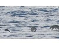 北極熊追殺同類充飢 母熊挺身保護仍親眼看孩子送命