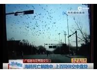 海鷗死在路中央 上百同伴繞圈30分鐘向牠「告別」