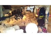 追隨鏡中「領頭羊」 80綿羊暴衝運動用品店