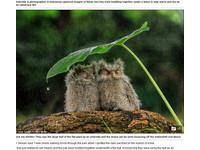 誰可相依? 兩隻「爪哇角鴞」依偎在一片葉子下躲雨