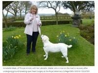全球首例狗狗「開心手術」 3歲拉布拉多成功保住性命
