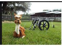 可愛羊駝兩隻腿完全殘廢 靠輪椅重獲新生鼓舞人心