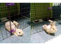 兔兔逃走一瞬間全都錄!身體軟Q像是一塊黃色麻糬