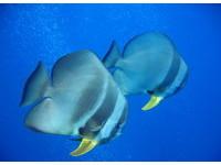 潛水可見的美麗身影快消失了!綠島燕魚9年下來只剩3隻