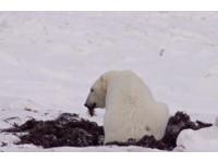北極熊天天傻走相同路線 覓不到食物只能「啃草暖胃」