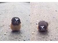 小小北方鋸磨貓頭鷹接受警察盤問 聽一聽還會「敬禮」
