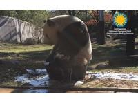 大貓熊「天天」洗泡泡浴 屁股塞進澡盆...水都流光了