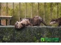 漢江治水有成 30年第一次水獺首爾現蹤跡