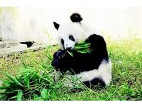 貓熊「1號」晚年遭虐 要和遊客合影才能吃