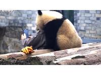 小貓熊蔓越莓靠飼養員肩上自拍 網友羨慕:幸運的男人