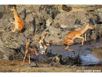 黑斑羚驚慌嚇飛 鱷魚水坑突襲撲了空