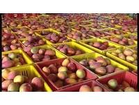 暖冬、大雨打亂開花期 台南芒果產量恐剩不到3成