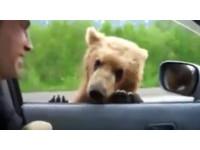 棕熊趴車門萌討過路費! 戰鬥民族笑給麵包完全沒在怕