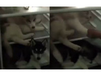 泰2隻哈士奇塞滿冰箱 堅持抵抗「別拉!才不出去呢」
