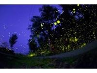 綠島螢火蟲大爆發!2公里長「星光大道」多虧沒裝路燈