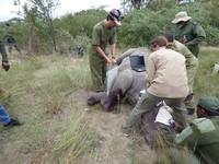 盜獵者追擊開槍!黑犀牛媽媽中彈角不見了 忍痛安樂死