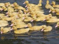 250隻毛茸茸小黃鴨「巡田水」 雀躍轉圈圈吃光福壽螺