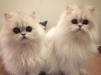 貓界的歐森姊妹花!Milk&Oreo連萌點都要雙倍放送