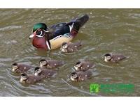 15隻寶寶「跟錯爸媽」 美洲木鴨夫婦出遊孩子越來越多
