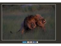 非洲「斷背情」! 兩隻公獅草原上演激情活春宮