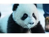 喝到口鼻滴奶 餵食「瀑布奶貓熊」寶寶被療癒了!