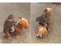 貓頭鷹坐玩具小馬 療癒「急速扭動」讓人忍不住看10次