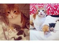 大白橘貓得癌症在化療 看到孤兒小貓仍堅持親自照顧