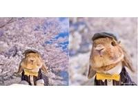 兔界制服型男在這!軟萌兔兔PuiPui櫻花樹下唯美攝影