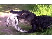 3公尺巨鱷「吃鱷魚」還狂甩 網友嚇壞:這是恐怖片?