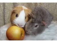 鼠鼠想獨佔蘋果...結果太用力 超傻眼表情讓網友笑翻