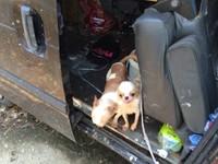 高雄廂型車養3隻吉娃娃恐熱衰竭 動保處強制開門帶走