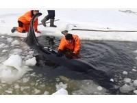 俄羅斯4隻虎鯨困冰中! 人狗奮力營救8小時