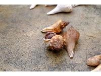 穿著「破掉的蝸牛殼」前來 綠島寄居蟹換新家超滿意