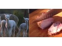 口感介於羊牛之間!澳洲人瘋吃羊駝:脖子的肉最美味