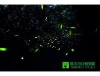 盼螢光再現! 動物園在木柵公園萃湖野放螢火蟲