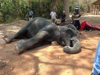 載客到熱衰竭! 大象公司「心痛」:縮工時直到天涼