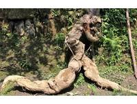 成精了!他挖出125公斤「人形葛根」 秀肌肉線條奔跑