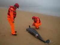 海洋悲歌!又是被漁網纏住 馬祖一日驚見2死亡江豚