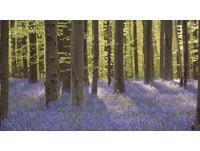 「紫色魔毯」般的童話世界...風信子遍布比利時森林!