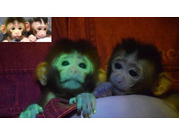照到紫外線秒變「綠光猴」 日本團隊基因改造長尾獼猴