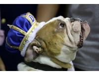 狗狗版《麻雀變鳳凰》 流浪狗獲「最美比特犬」冠軍