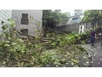 快訊/北市木柵15公尺高路樹倒 壓傷1婦人送醫