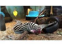 「斷頭斑馬」餵老虎 挪威動物園:我們有先安樂死了