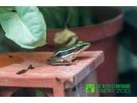 田裡台北赤蛙不見了!叫聲像擦玻璃 動物園復育盼試放