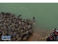 四川「百牛過江」超壯觀! 小牛趴母背上爸爸在旁護衛
