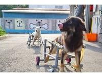 「風火輪」讓癱瘓的狗姐妹玩瘋了 暖男把屎把尿:值得