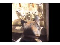 你是誰?一群狐獴擠在櫥窗前 貓貓閒逛動物園嚇退3步