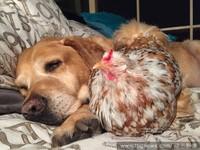 正妹改變一顆雞蛋的一生!貓狗陪伴「無眼雞」健康長大(圖/達志影像)