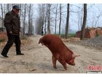 安徽「兩腿小豬」會走路 凌空跳著覓食