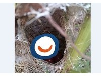 真假?小鳥生下5顆「聖女小番茄」 網驚:是搗蛋齁!